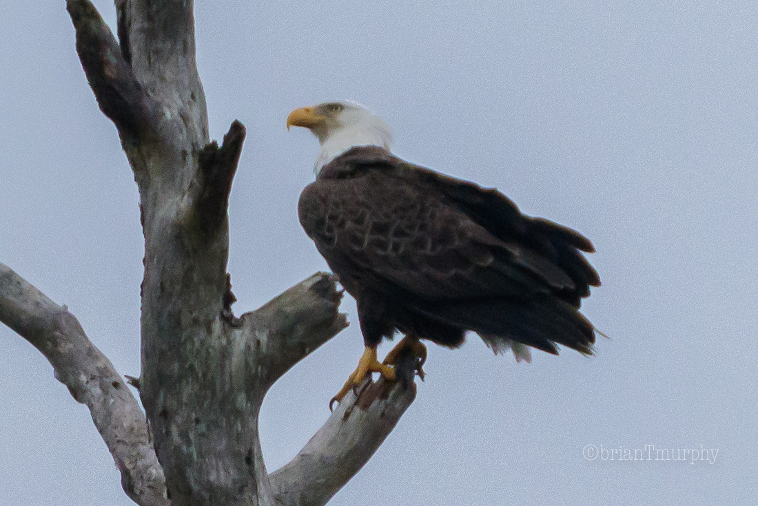 Bald Eagle - ARNWR