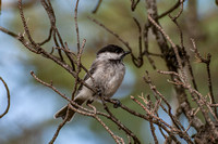 Chickadees, Titmice, Nuthatches and Treecreepers