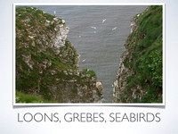 Loons, Grebes, Seabirds