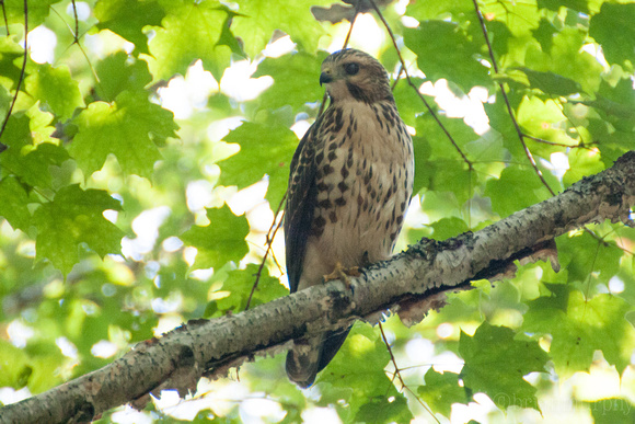Broad-winged Hawk - Barbeau, MI