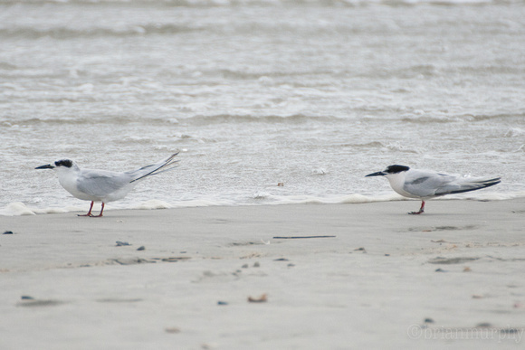 Left - Forsters Tern  Right - Common Tern