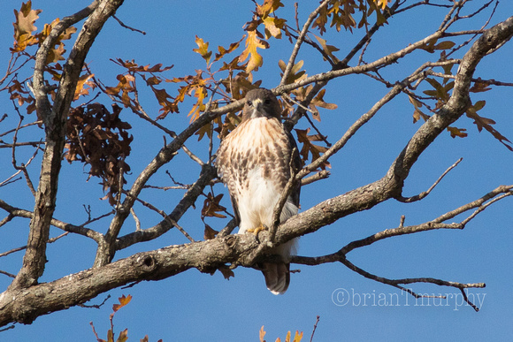 Red-tailed Hawk - Mid-Pines Rd.
