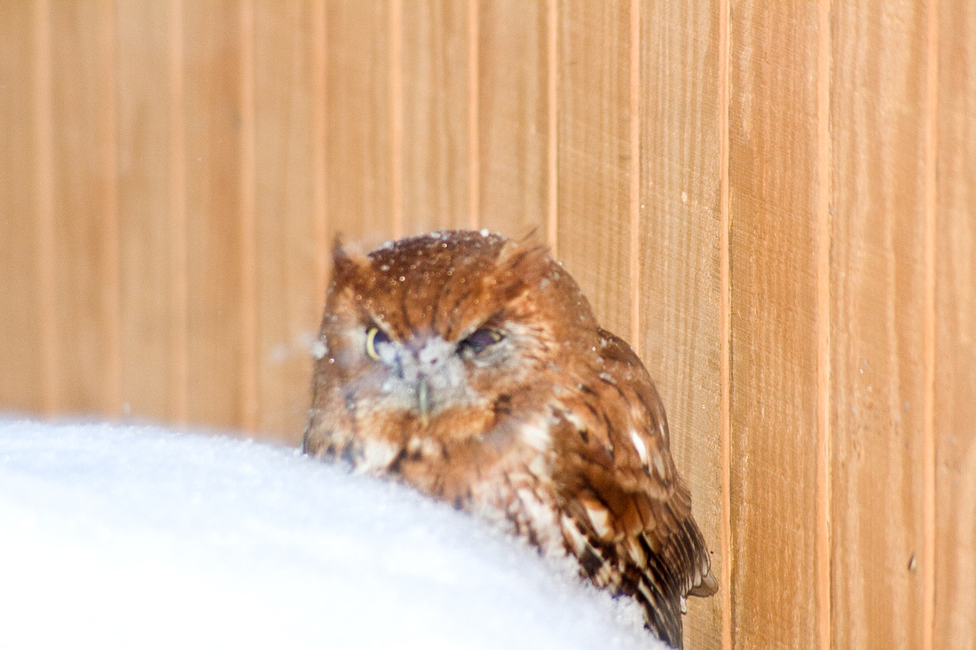 Eastern Screech Owl on top of my bird seed can, next to the shed, during the Christmas snow of 2010.
